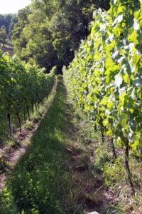 Ökologischer Weinanbau am Olgaberg am Hohentwiel Singen. Foto: Holger Hagenlocher