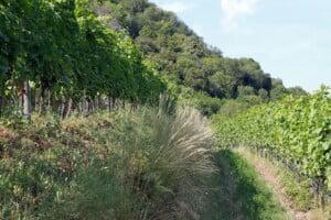 Ökologischer Weinbau als besondere Herausforderung bei Terrassenlagen. Hänge könnten abrutschen.